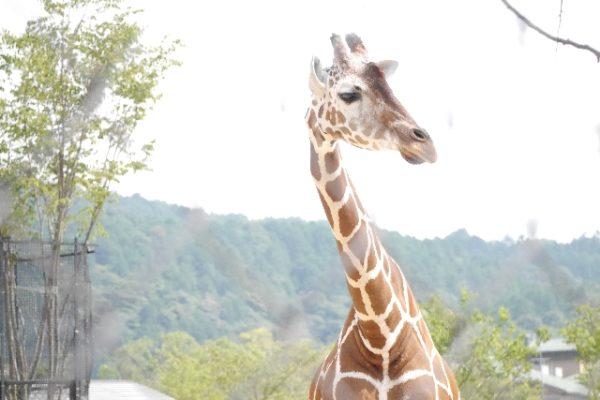 キリンは英語で「Giraffe」。日本語の語源は?!