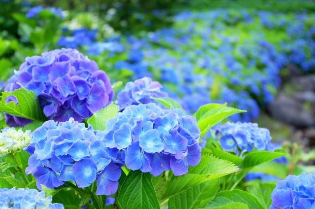 紫陽花の種類は?育て方で色が変わる!?毒があること知ってた!?