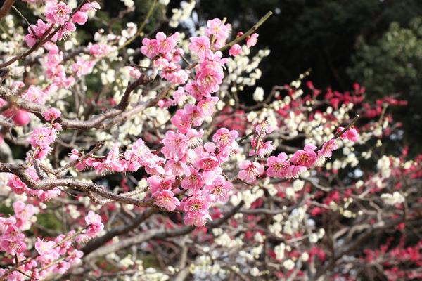 梅の開花2017 関西(京都・大阪)の時期、名所スポット5選