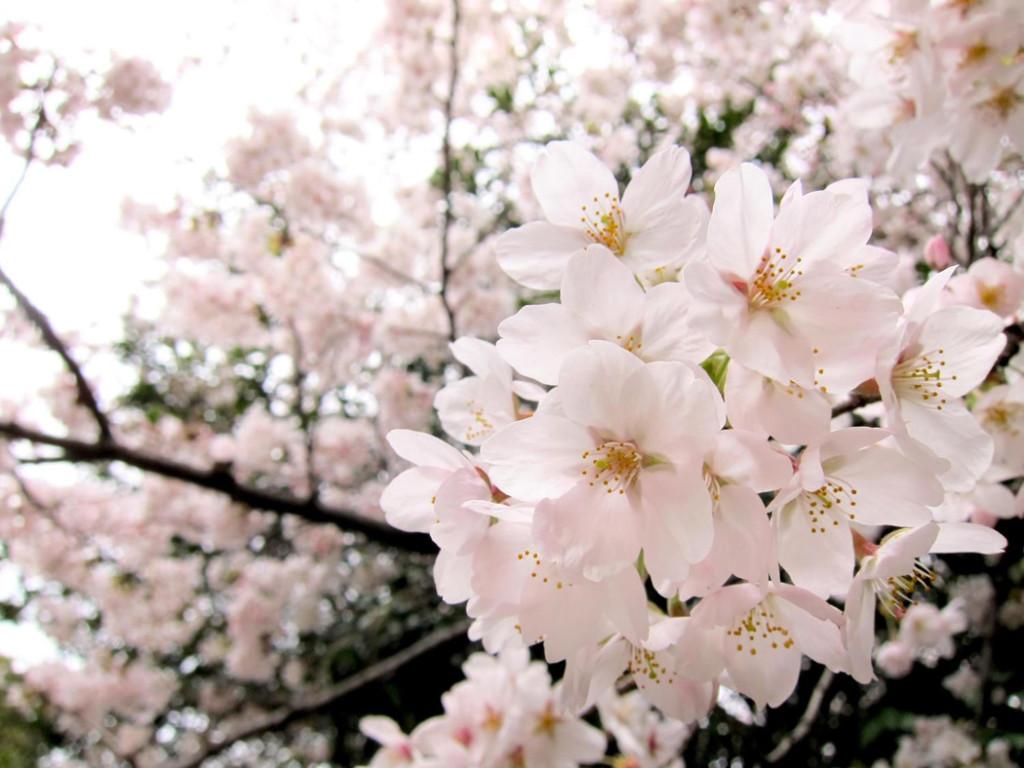 2016年桜開花予想を発表!簡単に予想ができる600度の法則がスゴイ