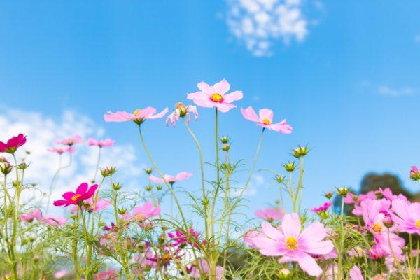 コスモスの花言葉 白やピンクなど色別の意味や名前の由来はこちら