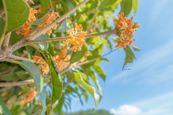 キンモクセイの7つの花言葉の由来、香りの効果に驚き!