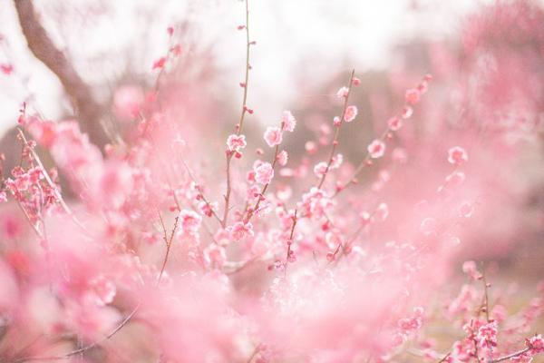 梅の開花2017 東京の時期、名所スポット3選