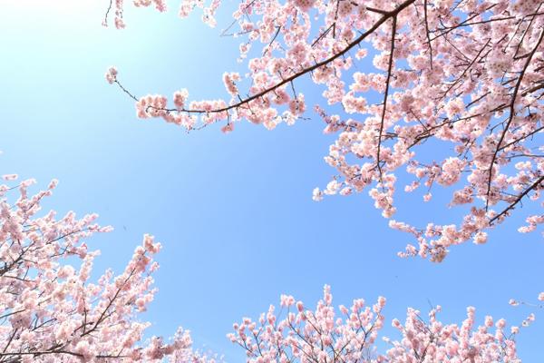 神代桜(山梨)2017 開花予想、アクセス、駐車場情報も!ムービーあり