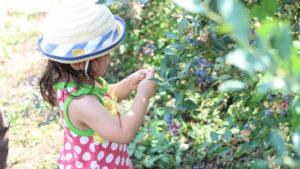 埼玉のブルーベリー狩りおすすめスポット!おいしい木の見つけ方